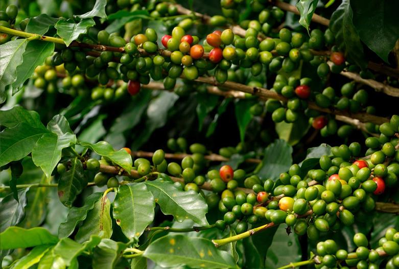 Viajes a Panama | Planta de cafe en Boquete