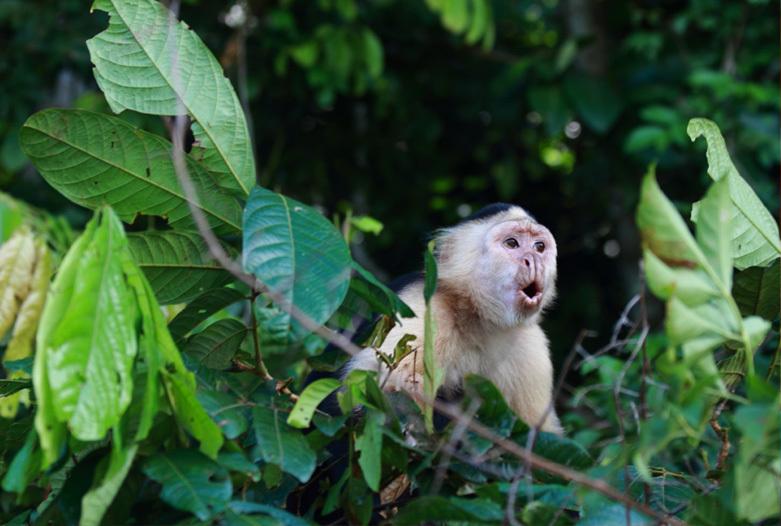 Viajes a Panama | Mono capuchino, Gamboa